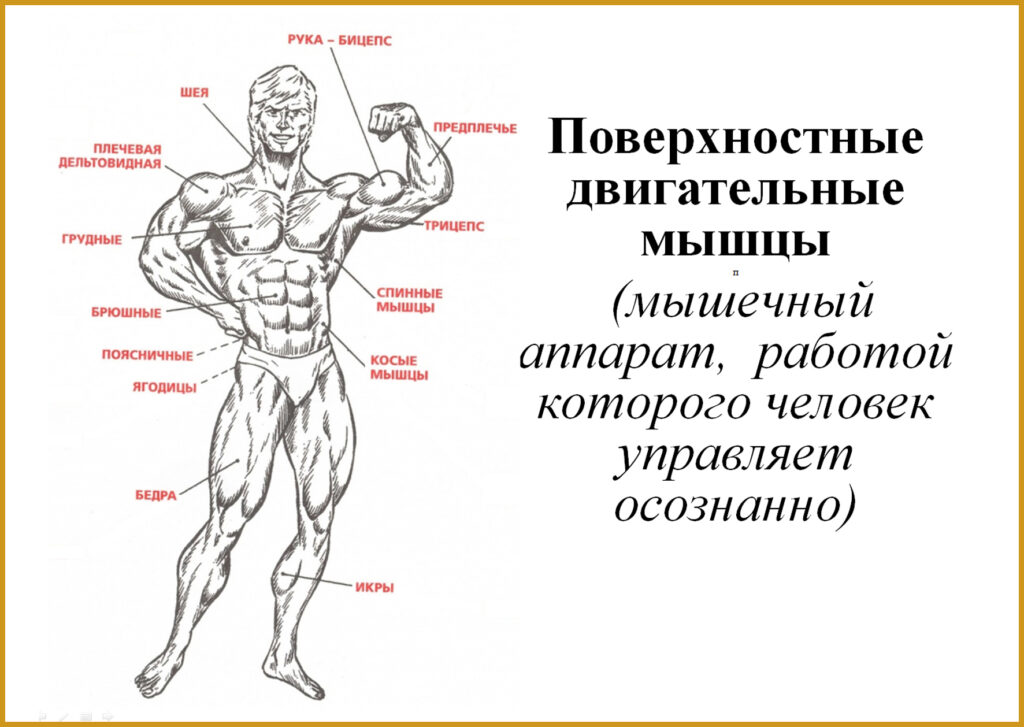 мышцы ВК